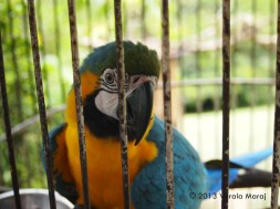 Blue and gold (talking) macaw