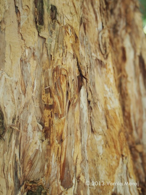 Close up: The tree where brown paper comes from